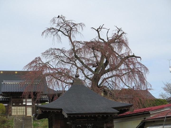 長興寺の桜