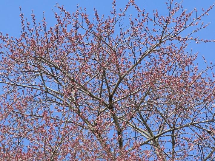 弥明の桜ズーム