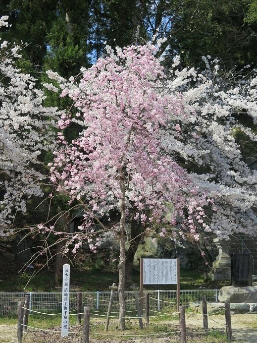 お手植えの桜