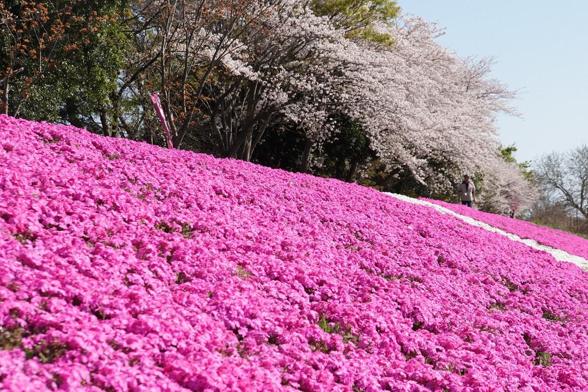 相模川芝桜ライン2019041801