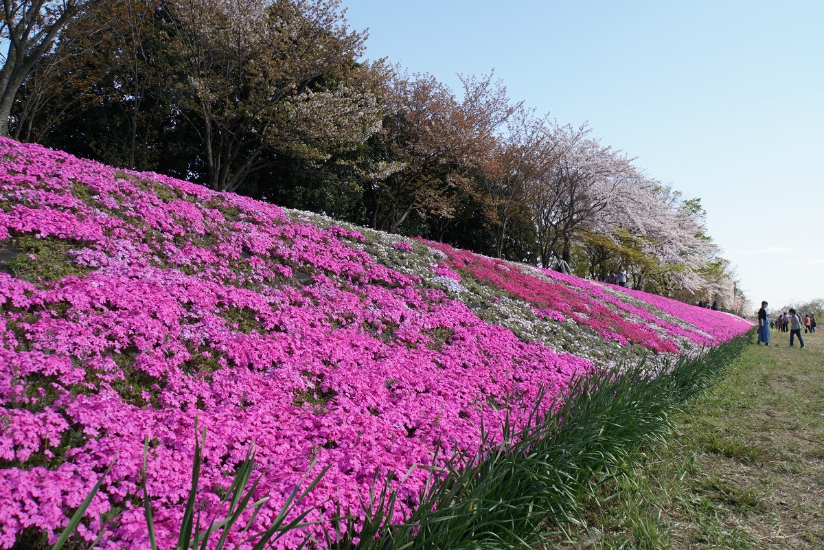 相模川芝桜ライン2019041802
