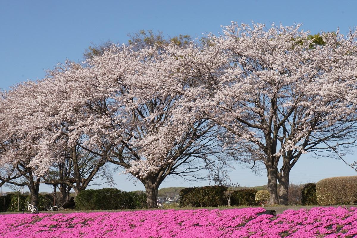 相模川芝桜ライン2019041804