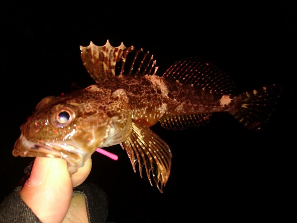 メバル狙いでカサゴが連発。更に新魚種も登場の横須賀メバリング♪