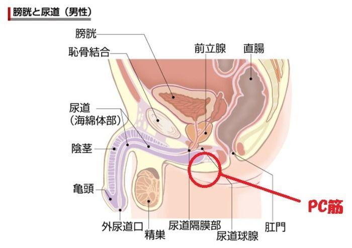 PC筋の_位置