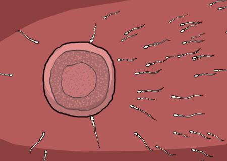 中学三年生の男の子と女の子の精子と卵子