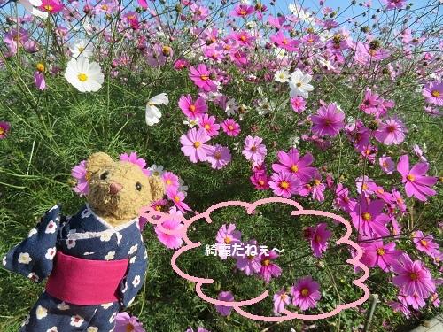 2018 11 11 コスモス畑②&べぁー