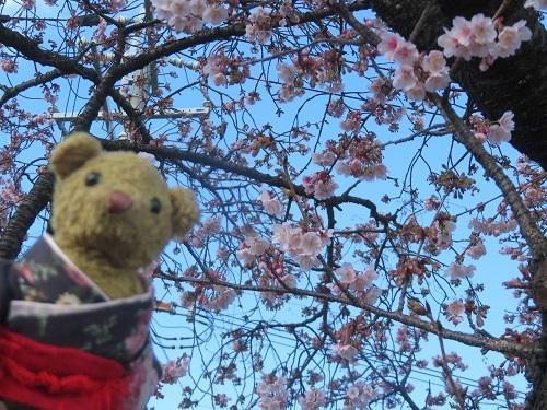 2020 1 30 早咲き桜&ベァー
