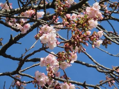 2020 1 30 早咲き桜