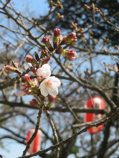 2020 3 23 お城 桜