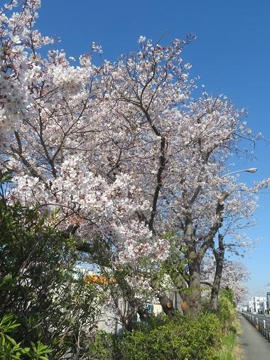 2020 4 7 地蔵の辻の桜並木