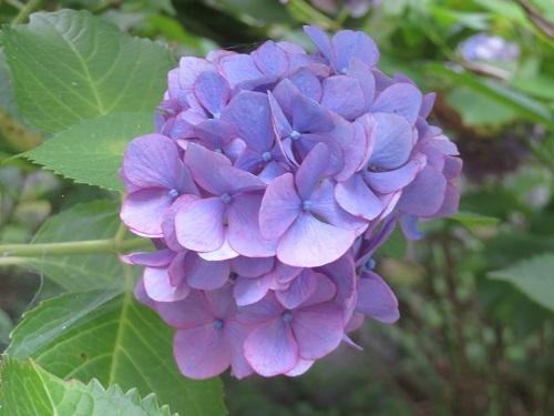 2020 6 27 お城(紫陽花)