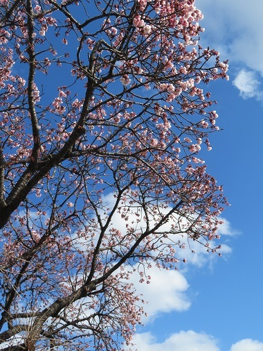 2019 2 1 早咲桜
