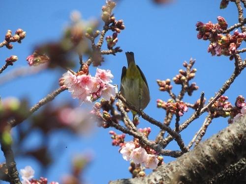 2021 1 25 早咲桜&メジロ