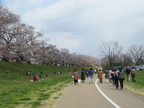 2019 4 2 京都 背割提の桜