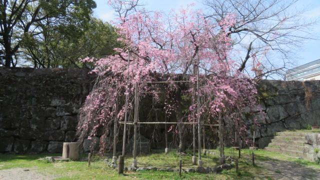 2021 3 17 枝垂れ桜(お城)