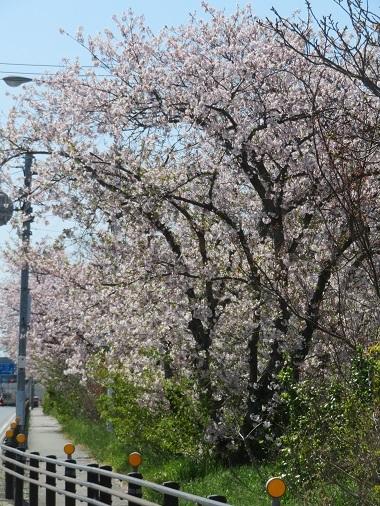 2019 4 9 地蔵の辻 桜