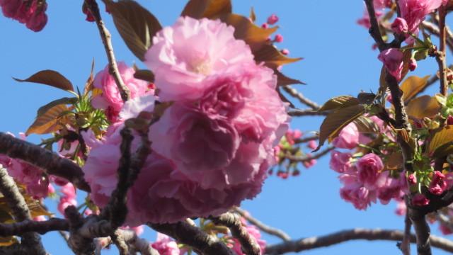 2021 4 5 川沿いの桜並木