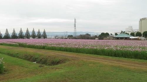 2019 10 18  秋桜(キリンビール福岡工場)